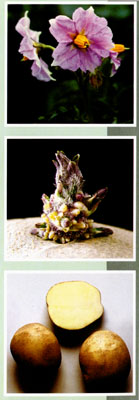 Сорт картофеля Явар